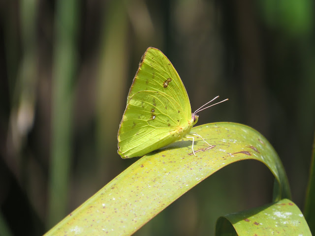 Cloudless Sulphur - Felts Audubon Reserve, Florida