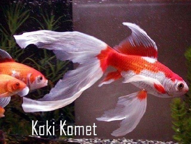 Ikan Mas Koki Komet