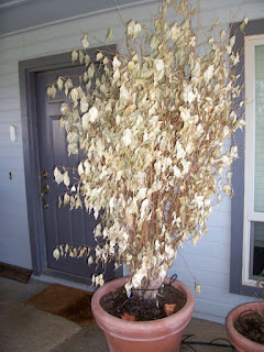 Ficus Benjamina and Frost Damage
