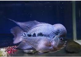 Ikan Hias Air Tawar Termahal SRT