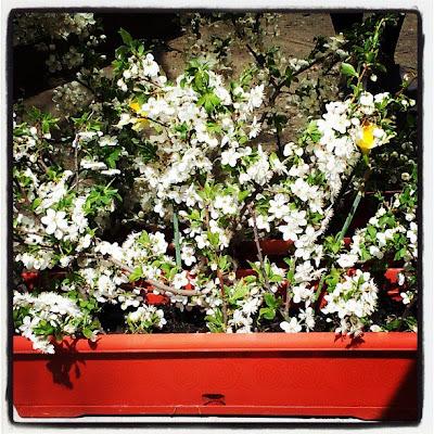 ghiveci cu flori