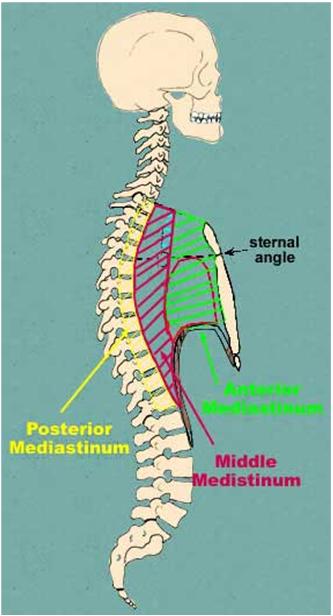 anterior mediastinum anatomy - photo #31