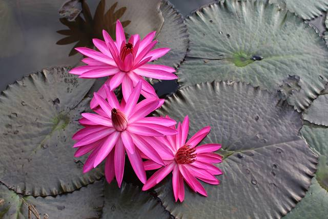 [Foto] Moleknya Bunga Teratai Merah / Pink - Nymphaea Rubra