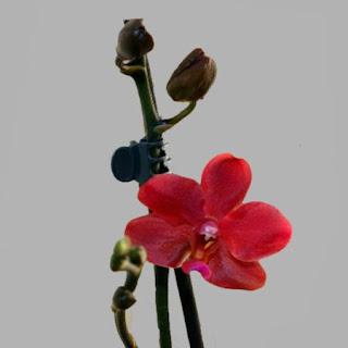 kleine Blüte Orchideen