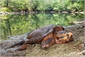 kura-kura aligator