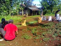 Jual Rumput Gajah Mini | Petani Rumput | Ahli Taman | Jual Tanaman Hias