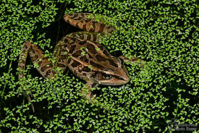 Lithobates taylori - Peralta Frog