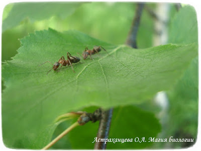 береза, магия биологии, муравьи