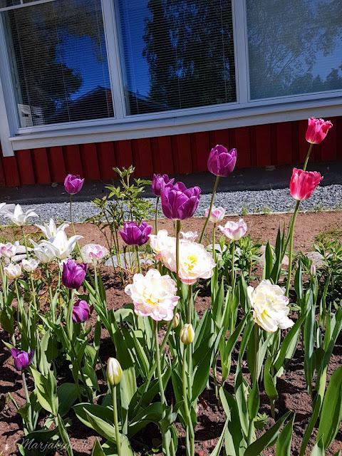 perennapenkki talo koti puutalo piha kukkamaa tulppaani