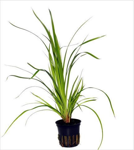 cây hẹ thủy sinh rất dễ trồng