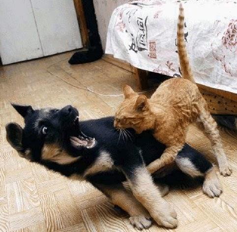 Ternyata Gigitan Kucing Lebih Berbahaya Dibanding Anjing