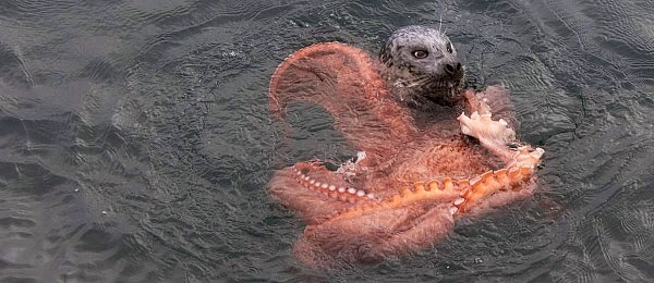 Watch a rare Battle between a Seal and an Octopus via geniushowto.blogspot.com the seal desperately tries to sink it's teeth into the giant octopus trying to crush it