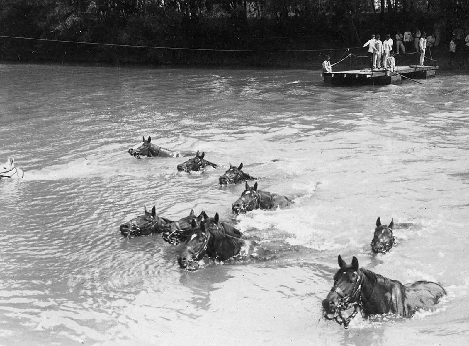 French cavalry horses swim across a river in northern France.
