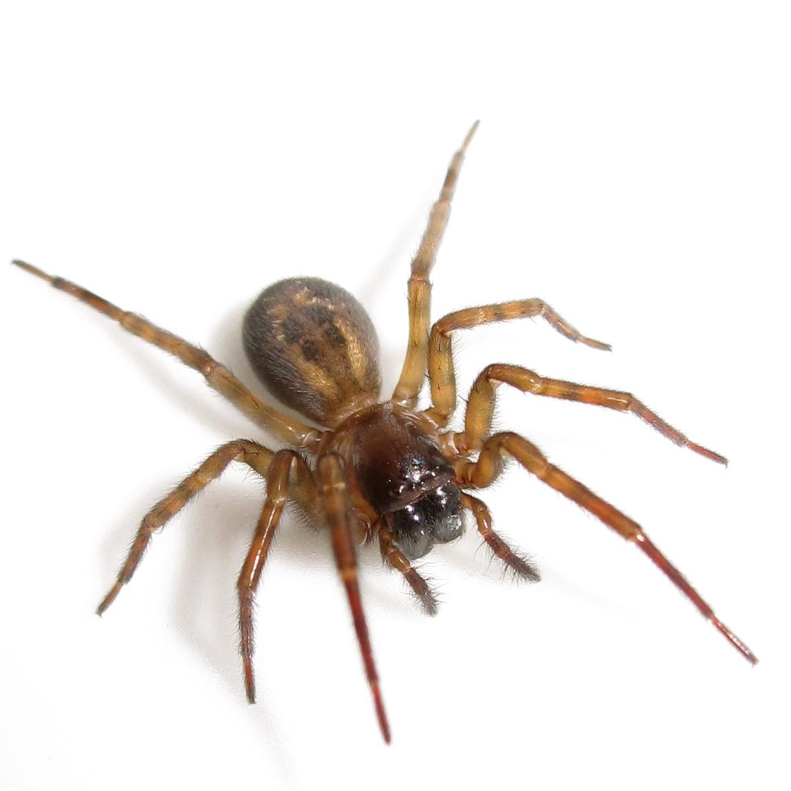 White Spiders In Kitchen