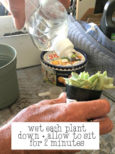 how to get succulents out of their containers