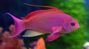 Ikan Hias Air Laut Anthias