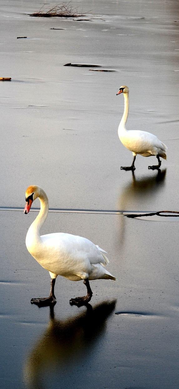 Swans walking on frozen lake.