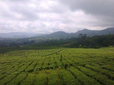 Kebun teh menuju tangkuban perahu