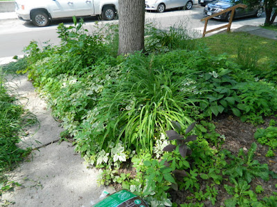 Little Italy Toronto Front Garden Clean up before by Paul Jung Gardening Services