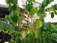 鉢植えコーヒーの実