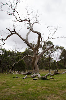 an old bush tree in woodland historic park, melbourne, australia