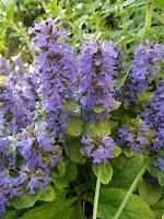 http://ilnomedeifiori.blogspot.com/2016/05/bugola-spighe-di-fiori-indaco.html