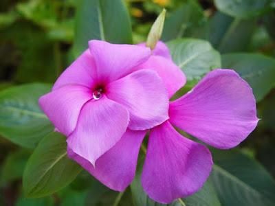 Bunga Tapak Dara Pink
