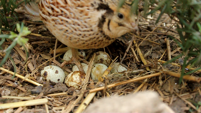 Organically raised coturnix quail guarding a nest of eggs