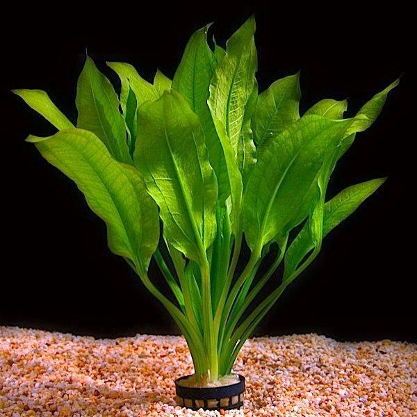 Bogwood conjunto con la Anubias Hardy planta acuática
