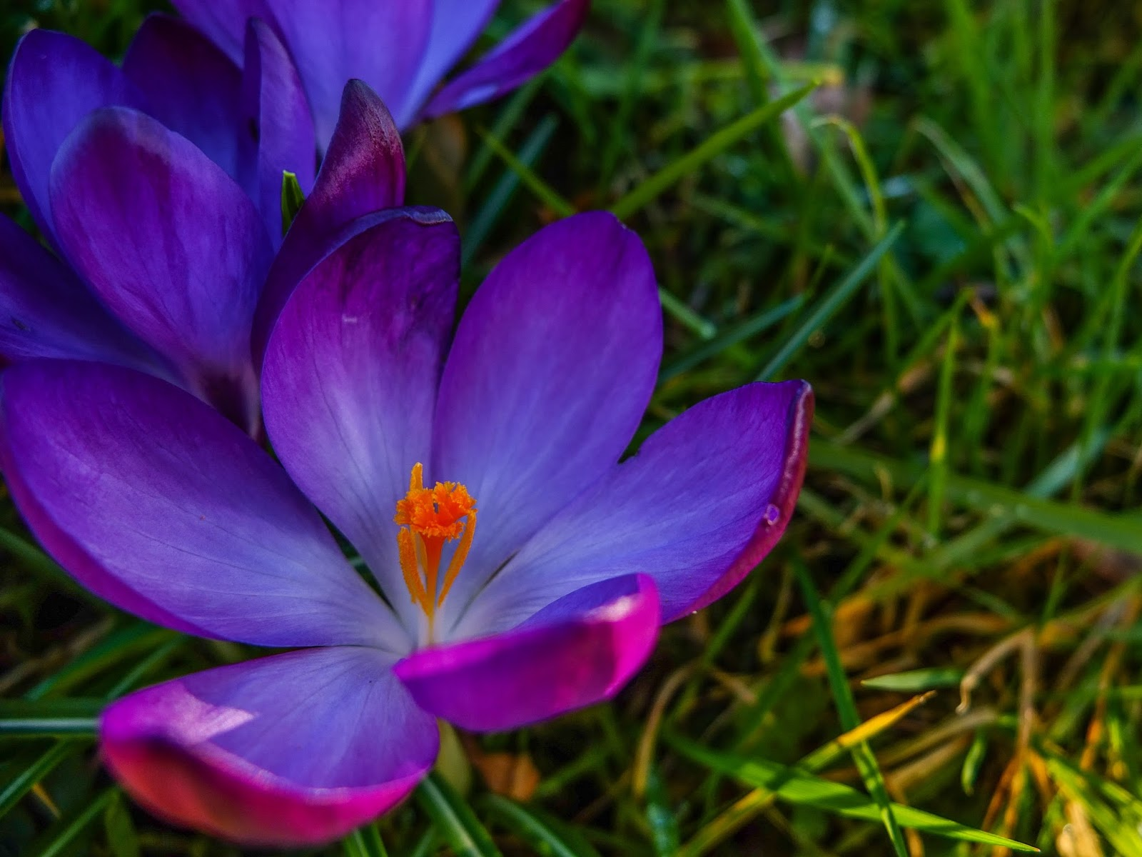 An opened crocus flower with a close up of the filaments.