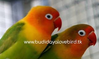 Lovebird Yang Bagus Untuk Lomba Supaya Jadi Juara