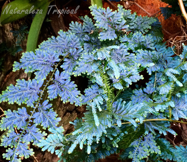 Vista de la planta del Helecho Azul, Selaginella willdenowii