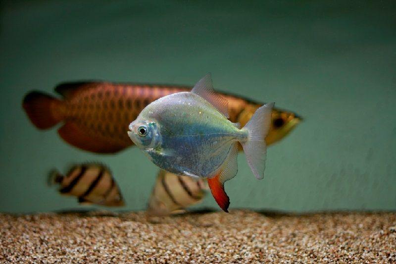 Gambar Red Hook Fish Teman Ikan Arwana Di Akuarium