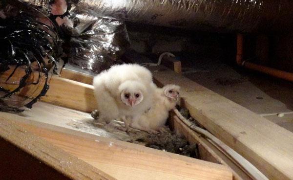Wildlife Emergency Services Blog Barn Owl Relocation