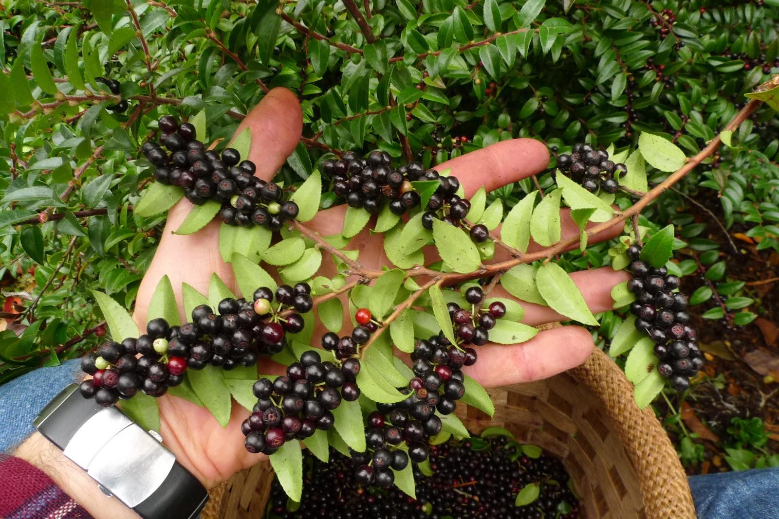 Wild Harvests Huckleberries Evergreen And Everlasting
