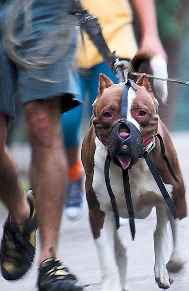 4 Steps to introduce your dog pitbull to the muzzle