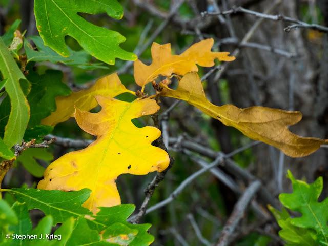 Gambel Oak - Quercus gambellii - early fall colors, Mesa Verde National Park, Colorado.