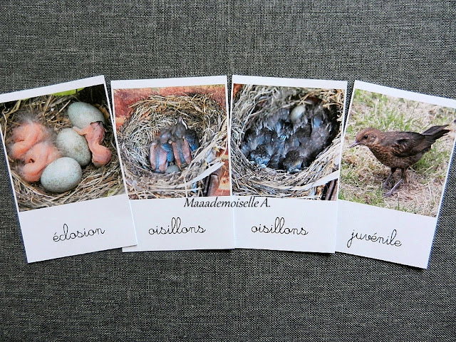Cartes de nomenclature : Cycle de vie de l'oiseau, merle noir
