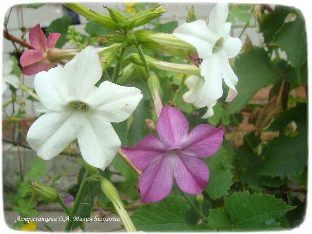 stroenie-okolocvetnika-i-chashechki-cvetka-magija-biologii-dushistyj-tabak