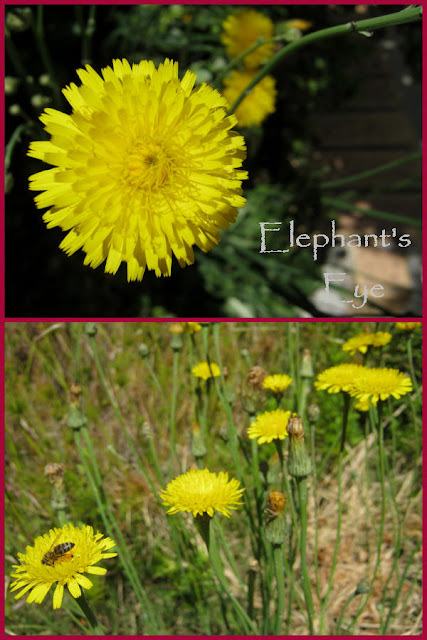 Hawkweed blooming in November