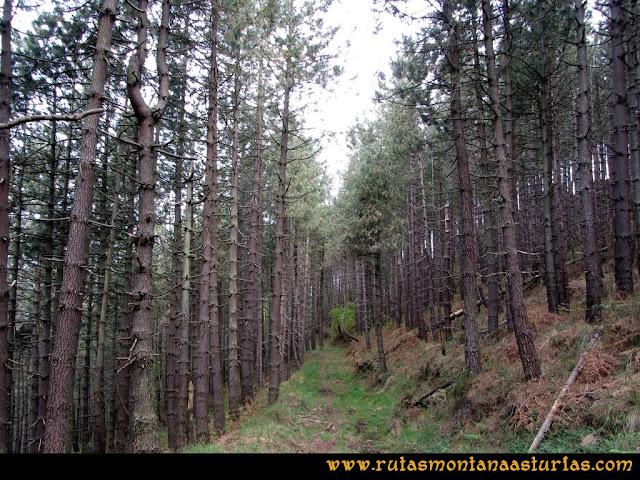 Ruta Torazo, Pico Incos: Atravesando el pinar