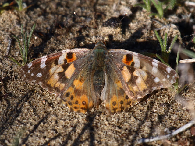 Painted Lady Butterfly Anza-Borrego Desert