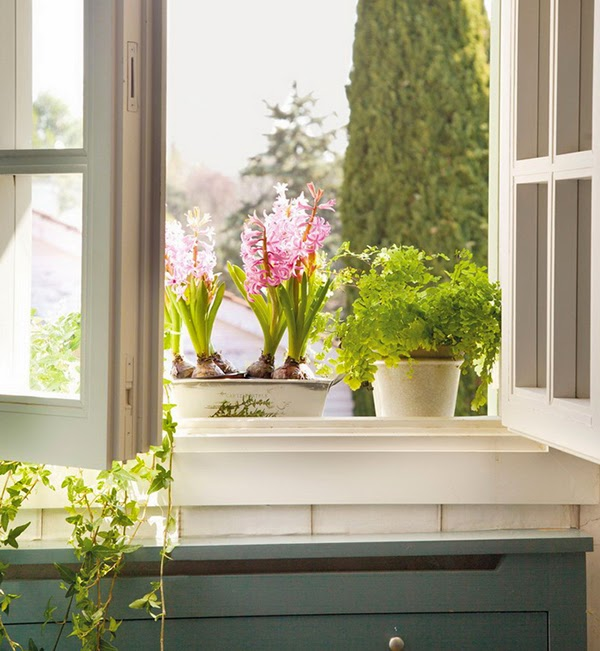 Growing flowers and forcing hyacinth bulbs on the windowsill