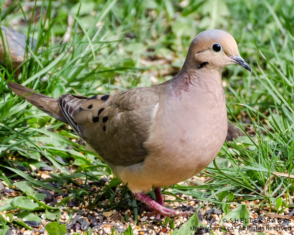 Male Female Mourning Doves And