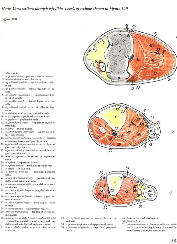 anatomy-horse-pelvic-casco-ossos-bones-anatomia-membros-pélvicos-horse-equino-popesko-livros-pdf-veterinaria-clique-download-descargar-libros-gratuito