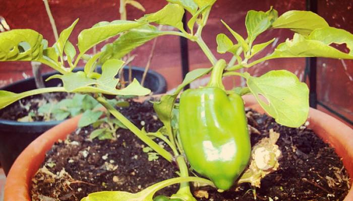 Como cultivar plantas en macetas