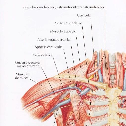 Miología Tórax - Kinesiología para Estudiantes