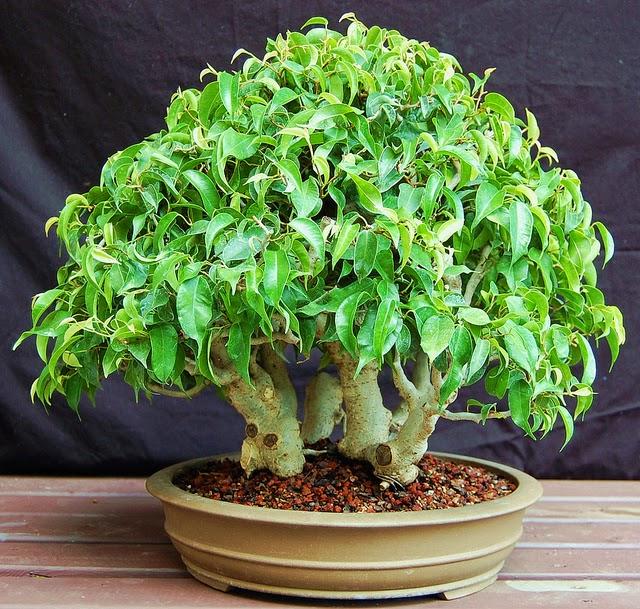 lennard 39 s bonsai beginnings ficus benjamina var wiandi cinderella of the species as bonsai. Black Bedroom Furniture Sets. Home Design Ideas