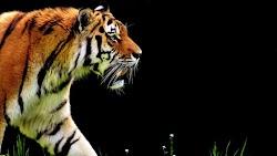 Tiger at Hellabrunn Zoo