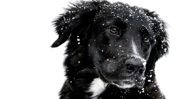 Snowing over the Cute Black Dog